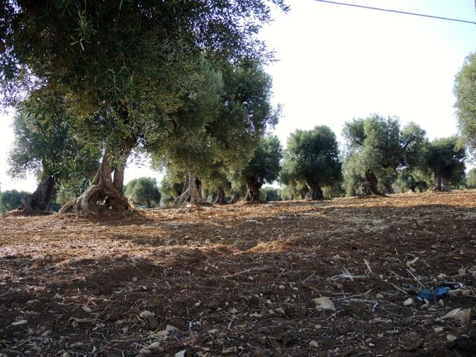 Die alten Olivenbäume Apuliens